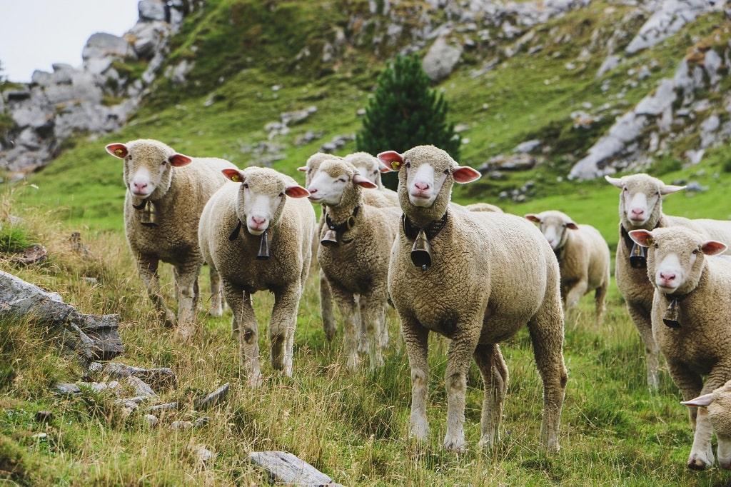 Moutons du Vercors