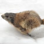 Tour du mont Blanc Nord - 7 jours - marmotte